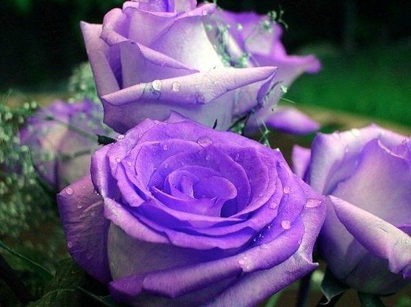 Mauve ... jolies roses pour Yvonne ;-))