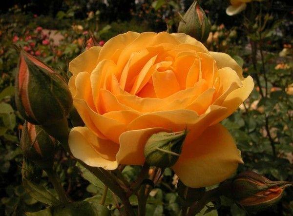 le langage des roses prenez celle qui vous convient le mieux souricette doctissimo. Black Bedroom Furniture Sets. Home Design Ideas