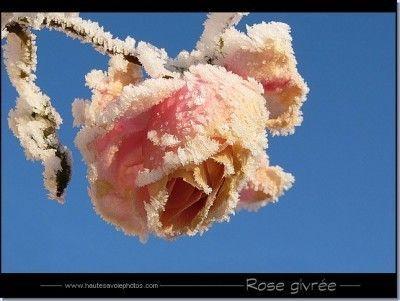 Hiver ... une rose givrée
