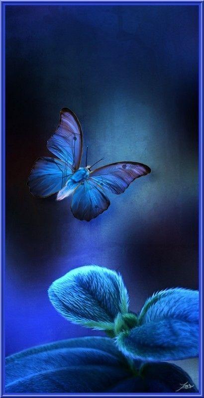 Papillon ..
