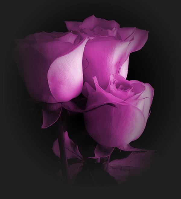 Mauve ... jolies roses