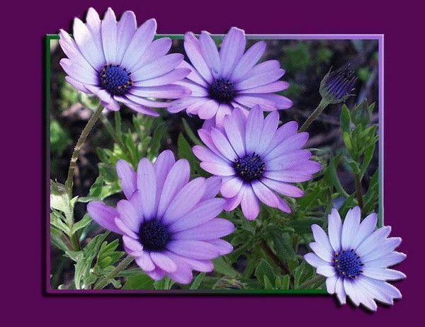 mauve .. violet ... fleurs
