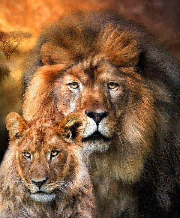 Félins  ... Lions
