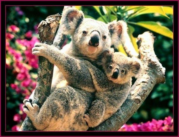 Animaux .. Pandas ... Koalas  ...