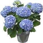 Fleur ... mini  ... hortensia bleu