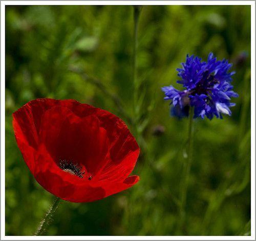 Fleur ... coquelicots ...