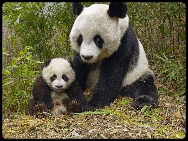 Animaux ... Pandas  ... Koalas