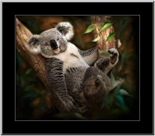 Koalas  ... Belle image