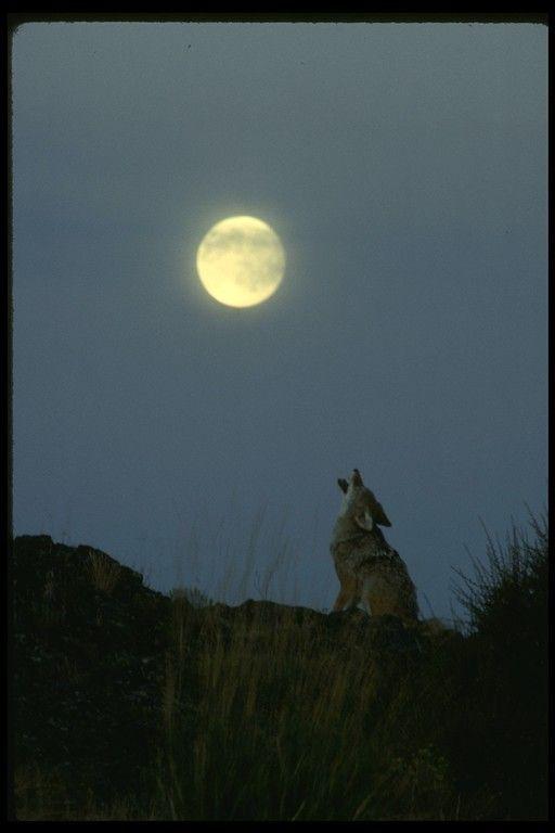 Loups ...