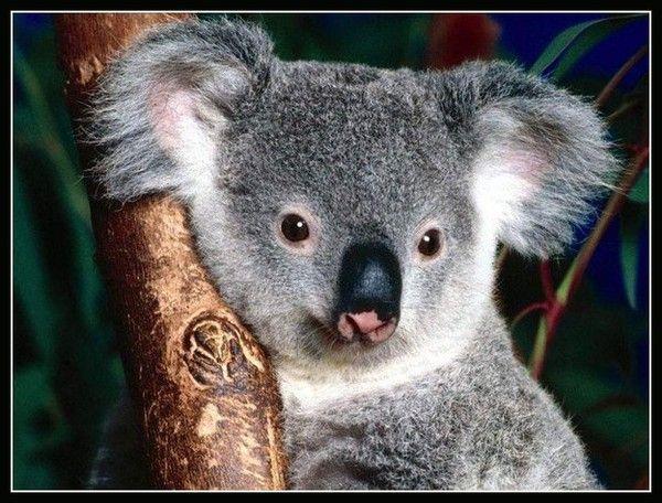 Koala ... Belle image
