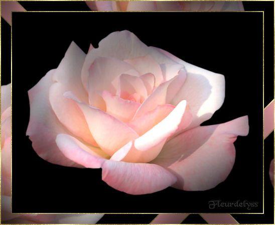 Rose ... jolie rose