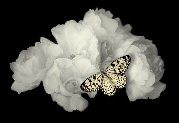 Blanc ... fleur & papillon