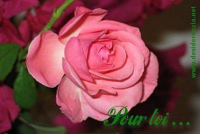 Rose ...  une rose pour Toi