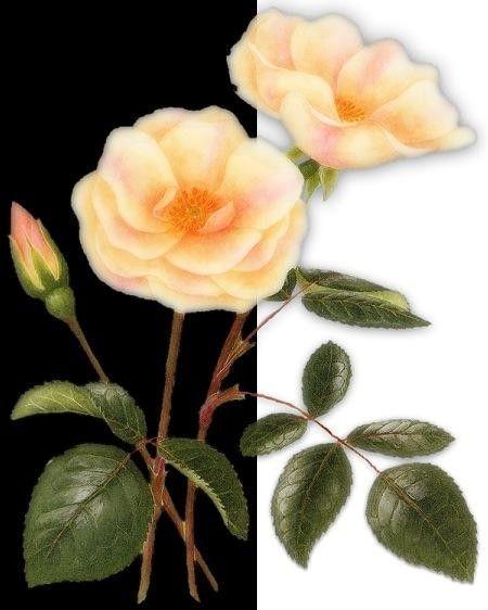 Fleurs ... roses