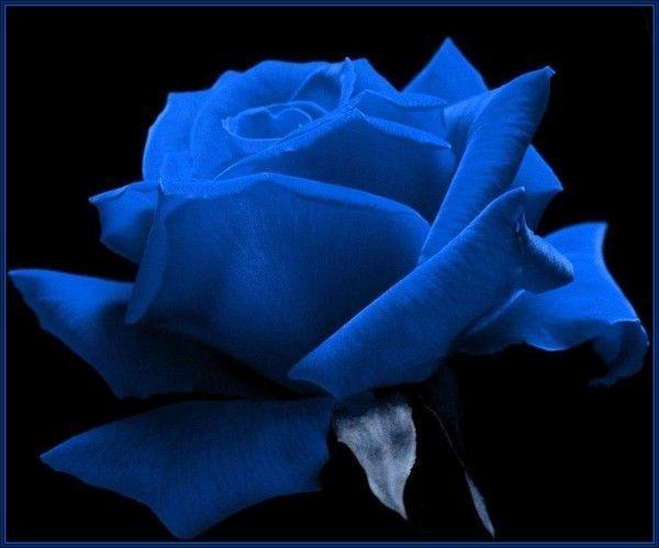 Fleur  ... jolie rose