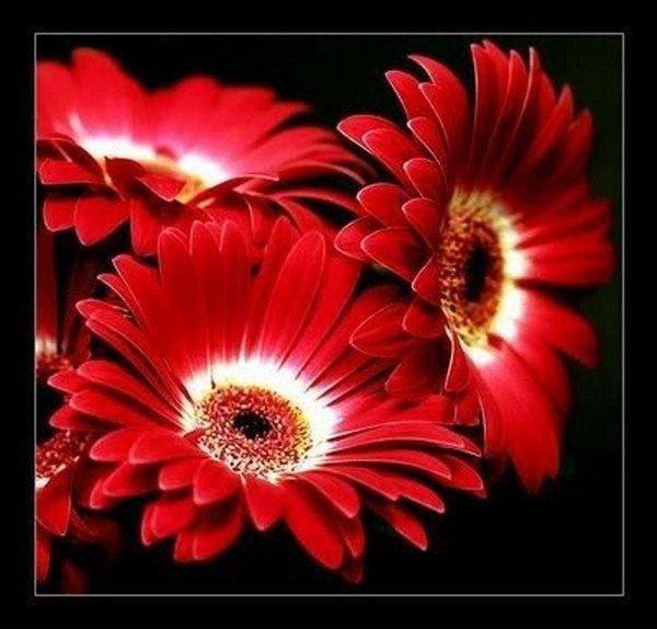 Rouge ... Belle images ... Fleurs