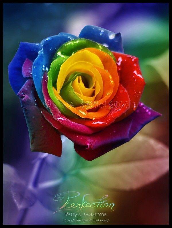 Fleur ... Rose